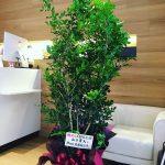 お世話になった先生にシルクジャスミンの観葉植物!お祝いでいただきました!本当にありがとうございます!良い匂いがします♩#シルクジャスミン#観葉植物